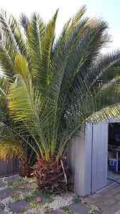 Large Palm Tree Cranbourne North Casey Area Preview