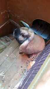 Mini Lop Bunny looking for new home Cannington Canning Area Preview