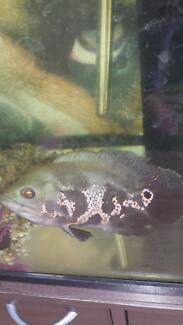 oscar fish with tank Morphett Vale Morphett Vale Area Preview