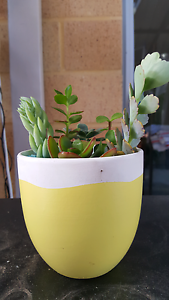 Potted Succulents Carramar Wanneroo Area Preview