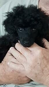 Toy poodle puppy Breeder
