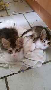 Male and female kittens Beverly Hills Hurstville Area Preview