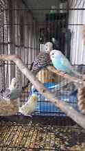 Young budgies pretty colours Cobbitty Camden Area Preview