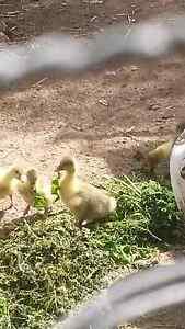 Goslings born 11th November Willaston Gawler Area Preview