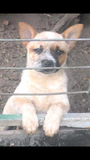 Last Pup Left. Aust Cattle Dog, Purebred. Female