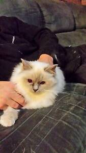 Lilac pt Birman girl desexed adult available for adoption Kilsyth Yarra Ranges Preview