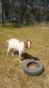 Sold boer goats Johns River Greater Taree Area Preview