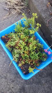 Dozens of succulent babies