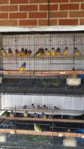 Gouldian finches Horsley Wollongong Area Preview