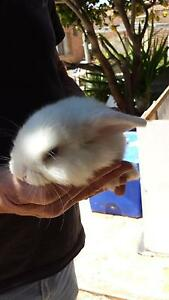 Mini lop Bunny's Cervantes Dandaragan Area Preview