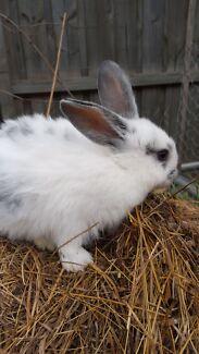 Young rabbit/bunny Bendigo 3550 Bendigo City Preview