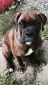 Mastiff Boxer looking for her forever home