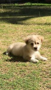 PapillonX Shihtzu Male puppy 3 months old Perth Perth City Area Preview