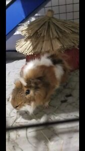 Two Guinea Pigs Available