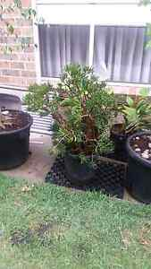 Big Potted Money Plant Casula Liverpool Area Preview