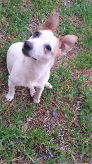 Female Jack Russell Pup