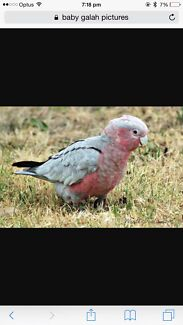 PLS HELP MY BABY NIECE LOST HER GALAH !!  Prestons Liverpool Area Preview