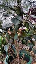 Large rubber plant Padstow Heights Bankstown Area Preview
