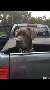 Cane Corso x Bullmastiff Thirlmere Wollondilly Area Preview