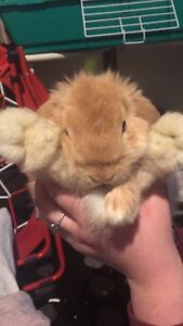 Baby Holland Lop (Shelburne area)