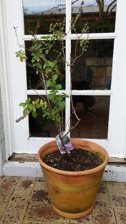 Garden pot + Lavender patch strawberry ruffles  Cottesloe Cottesloe Area Preview