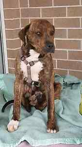 URGENT Great Dane X Rutherford Maitland Area Preview