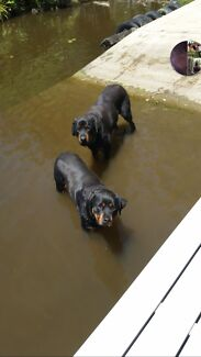 Rottweilers East Seaham Port Stephens Area Preview