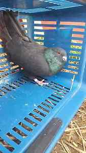 Pigeon for sale Footscray Maribyrnong Area Preview