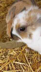 Baby mini lop female Hackham West Morphett Vale Area Preview