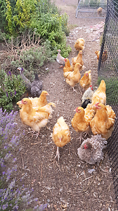 Buff Orpington roosters Kersbrook Adelaide Hills Preview