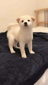 Top quality registered white Shiba Inu puppies.