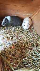 Guinea pigs and setup Craigmore Playford Area Preview