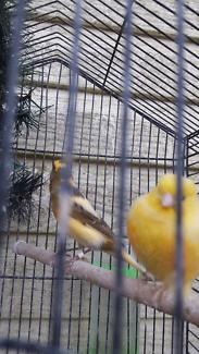 Canary finch