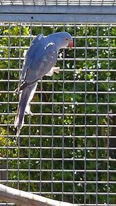 Indian Ringneck Parrots Kidman Park Charles Sturt Area Preview