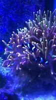 Bubble tips, xxl flame and black clownfish pair