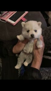 pomsky | Dogs & Puppies | Gumtree Australia Free Local Classifieds