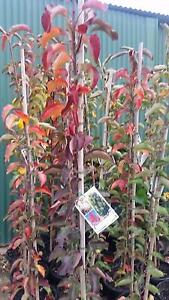 CAPITAL ORNAMENTAL PEAR TREES, 2 SIZES FROM  $58 Skye Frankston Area Preview