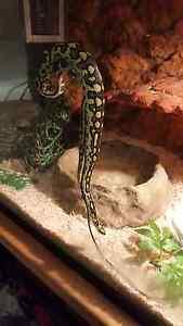 Jungle python + vivarium setup Klemzig Port Adelaide Area Preview