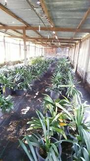OVER 200 Clivia Pots FOR SALE Arcadia Hornsby Area Preview