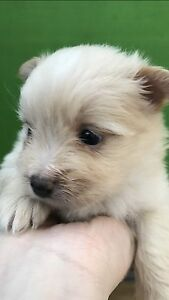 4 Males & 1 Female Pomeranian x Maltese Puppies READY (2 weeks after) North Adelaide Adelaide City Preview
