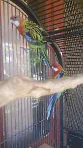 Breeding pair rosellas + cage + breeding box Aberglasslyn Maitland Area Preview