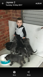 Blue American Staffies Sunbury Hume Area Preview