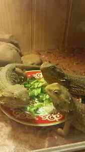 3 Bearded Dragons and enclosure Brighton Bayside Area Preview