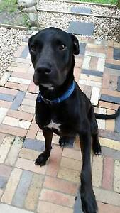 Great Dane x Staffy - Free to good home Ferny Hills Brisbane North West Preview