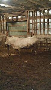 Purebred charlaios bull