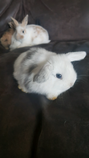 Pure Dwarf Lop baby bunnies