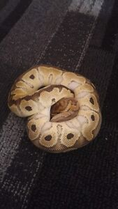 Selling everything , many ball pythons priced to sell ;) !