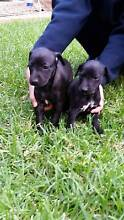 Pure Breed Whippet pups Altona Hobsons Bay Area Preview