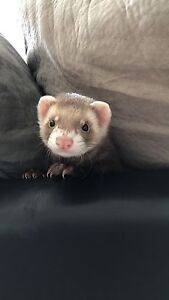 4 month old ferret to good home Milsons Point North Sydney Area Preview