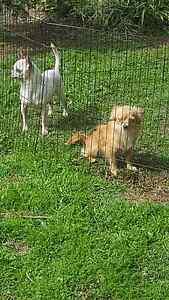 Chihuahua pups Bidwill Blacktown Area Preview